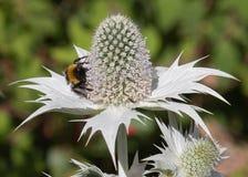 Eryngium Magnesowy przyciąganie dla pszczół zdjęcia royalty free