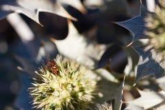 Eryngium Maritimum или thistle взморья, растя одичалый в дюнах Стоковые Изображения