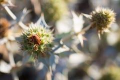 Eryngium Maritimum или thistle взморья, растя одичалый в дюнах Стоковые Фото
