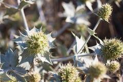 Eryngium Maritimum oder Küstendistel, wachsend in den Dünen wild Stockbild