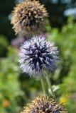 Eryngium planum. Sunny day. Focus in the center Stock Image