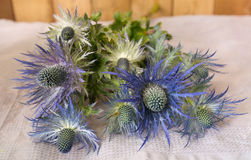 Eryngium planum Blue Sea Holly flowers on fabric background Stock Image