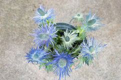 Eryngium planum Blue Sea Holly flowers on light brown background Royalty Free Stock Images