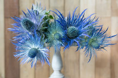 Eryngium planum Blue Sea Holly flowers on wooden background Royalty Free Stock Image