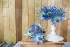 Eryngium planum Blue Sea Holly flowers on wooden background Stock Images