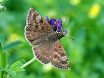 Erynnis tages Stock Image
