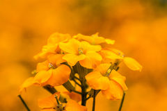 Erysimum Cheiri Photos stock