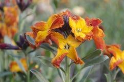 Erysimum cheiri, Cheiranthus cheiri , wallflower Royalty Free Stock Images
