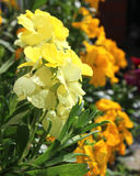 Erysimum cheiri Wallflower Stock Photos