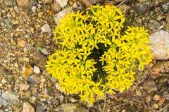 Erysimum franciscanum, allgemein bekannt als der Franziskanergoldlack oder San Francisco-Goldlack, endemisch für Kalifornien; kla lizenzfreie stockbilder