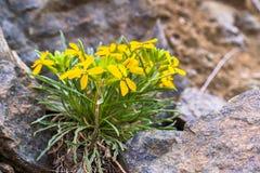 Erysimum franciscanum, allgemein bekannt als der Franziskanergoldlack oder San Francisco-Goldlack, endemisch für Kalifornien; kla stockfotografie