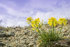 Erysimum franciscanum, commonly known as the Franciscan wallflower or San Francisco wallflower, endemic to California; classified. As at risk (vulnerable); has stock images