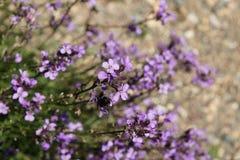 Erysimum linifolia Stock Images