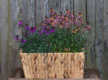 Erysium, a flowering perennial plant in two colors. Erysium, a flowering perennial plant in two colors, planted in a basket in front of an old wooden door Stock Images