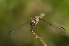 erythemis dragonfly eyed красный цвет plebeja Стоковые Изображения