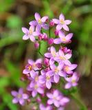 人马座夭车菊属植物erythraea 免版税库存照片