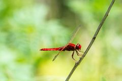 Erythraea Crocothemis Dragonfly шарлаха в профиле стоковые изображения rf