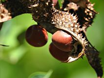 Erythrina Χ bidwillii (δέντρο κοραλλιών θάμνων) Στοκ φωτογραφία με δικαίωμα ελεύθερης χρήσης
