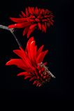 Erythrina or Coral Flower with stick Insect Royalty Free Stock Image