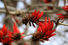 Erythrina or Coral tree Stock Images