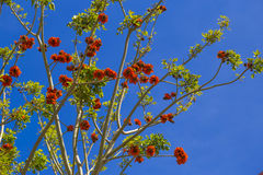 Erythrina (coral) trees in red blossom during clear sunny day in. Erythrina trees in red blossom during clear sunny day in May, Trapani, Sicily, Italy royalty free stock photo