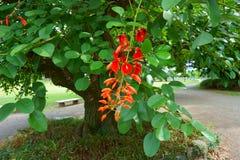 Erythrina cristasom ofta är bekant som cockspurkorallträdet royaltyfria bilder