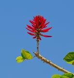 Erythrina-herbacea Blumen Stockfotografie