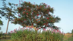 Coral Tree, Lucky Bean Tree, High Definition Footage. Erythrina lysistemon, Common Coral Tree, Lucky Bean Tree, Kaffir Boom or Transvaal Kafferboom deciduous stock video footage