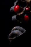 Erythrina ou graines chanceuses d'haricot Image libre de droits