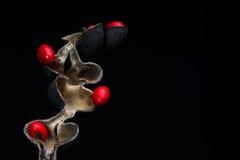Erythrina ou graines chanceuses d'haricot Photos libres de droits