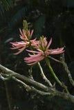 Erythrina, ou mulungu, une fleur tropicale Images libres de droits