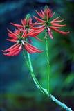Erythrina speciosa, brasiliansk Fabaceae royaltyfria foton