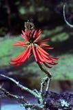 Erythrina speciosa eller mulungu arkivfoton