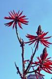 Erythrina speciosaalbum, en fantastisk vit brasiliansk blomma arkivfoton