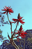 Erythrina speciosaalbum, en fantastisk vit brasiliansk blomma arkivbilder