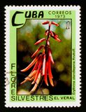 Erythrina standleyana, Dzikich kwiatów seria około 1973, Zdjęcie Royalty Free