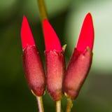 Erythrina variegata (Parichat flowers) Stock Photos