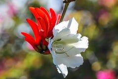 Erythrina & x28花; 珊瑚tree& x29;并且紫荆花 库存图片