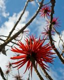 erythrinaen blommar speciosa arkivfoton
