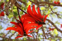 Erythrite or Coral tree Stock Photography