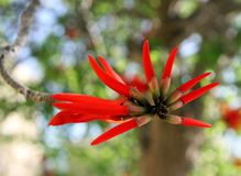 Erythrite or Coral tree Royalty Free Stock Photos