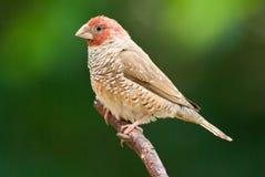 Erythrocephala Red-headed do amadina do passarinho Imagens de Stock Royalty Free
