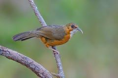 Erythrogenys oxidados-cheeked da tagarela ou do Pomatorhinus da cimitarra, pássaro bonito que está no ramo Fotos de Stock