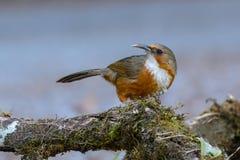 Erythrogenys rouillés-cheeked de bavard ou de Pomatorhinus de cimeterre, bel oiseau se tenant sur le bois de construction Images stock