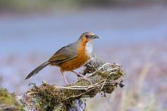 Erythrogenys rouillés-cheeked de bavard ou de Pomatorhinus de cimeterre, bel oiseau se tenant sur le bois de construction avec le Image libre de droits