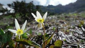 Erythronium caucasicum stock video footage