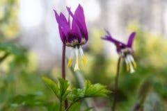 Erythronium de la primavera de Borgoña de los Wildflowers Imagen de archivo