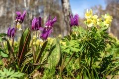 Erythronium de la primavera de Borgoña de los Wildflowers Fotos de archivo