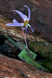 Erythronium  dens canis Royalty Free Stock Image