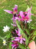 The most special spring bouquet. Erythronium dens-canis or the dog's-tooth flower is one of the symbolic flower of the spring, live colored in purple with the Royalty Free Stock Photos
